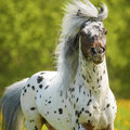 Appaloosa stallion playing on the meadow in summer time Stock Photo