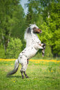 Appaloosa stallion rearing up on the meadow in summer time Stock Photography