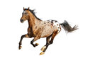Appaloosa stallion running fast gallop isolated on white Stock Photography