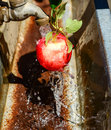 Apple being washed fresh red from the orchard in water Stock Photography