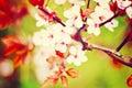 Apple blossom Royalty Free Stock Photo