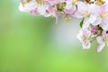 Apple blossom beautiful flowers of fruit tree Royalty Free Stock Images
