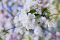 Apple blossom branch with white flowers against beautiful bokeh background, lovely landscape of nature
