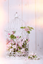 Apple blossom filled antique birdcage on wooden background Royalty Free Stock Image