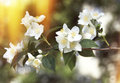 Apple Blossom Flowers Royalty Free Stock Photo