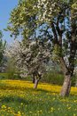 apple blossom meadow with blue sky yellow flowers on green field Royalty Free Stock Photo