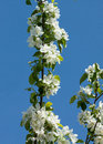 Apple blossom over blue sky Stock Photography