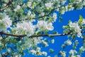 Apple blossom, park, Riga, Latvia, 2017.