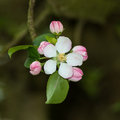 Apple blossom pink and white in springtime Stock Photos