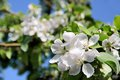Apple blossom tree close up of blossoms on bornholm denmark Stock Photo