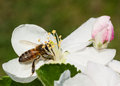Apple blossom white and bee Royalty Free Stock Image