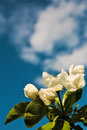 Apple blossoms against the sky Royalty Free Stock Photo