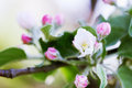 Apple blossoms beautiful blooming flowers on tree branch Royalty Free Stock Photo