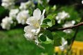 Apple blossoms blossom at the tree in the spring Stock Image