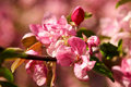 Apple blossoms closeup Stock Photography