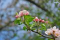 Apple Blossoms In Nature