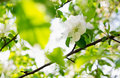Apple blossoms over blurred nature background spring flowers spring with bokeh Stock Photography
