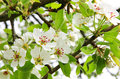 Apple blossoms in spring can use as background Stock Photography