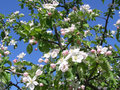 Apple blossoms in the spring garden sunny day Stock Photo
