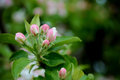 Apple blossoms in spring on a hot day Royalty Free Stock Image