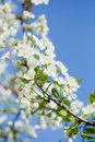 Apple blossoms in spring over the sky Stock Images