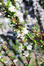 Apple blossoms in spring on sky the Stock Photography
