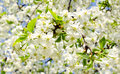 Apple blossoms in sunny day spring Royalty Free Stock Photos
