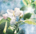 Apple blossoms tinted image closeup on on spring background Royalty Free Stock Images
