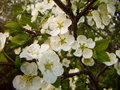 Apple blossoms tree blooming in late spring close up Royalty Free Stock Photography