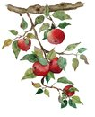 Apple branch with apples watercolor stylized illustration Isolated