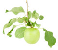 Apple on a branch lonely green hangs isolated white background Royalty Free Stock Photos