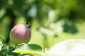 Apple on a branch in a sunny day close up Royalty Free Stock Image