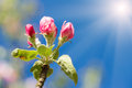 Apple bud in spring