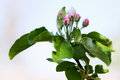 Apple buds beautiful blooming flowers on tree branch Royalty Free Stock Image