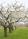 Apple and Cherry Orchards in Spring Royalty Free Stock Image