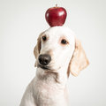 Apple on dog head Royalty Free Stock Photo