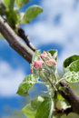 Apple flower bud Stock Images