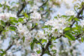 Apple flowers blossom in spring time with green leaves nature ba