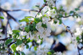 Apple flowers blossom tree close up Stock Photo
