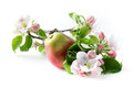 Apple flowers and ripe red apples on a white background Stock Photos