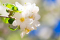 Apple flowers in spring closeup of beautiful tree season Royalty Free Stock Photography