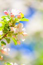 Apple flowers in spring closeup of beautiful tree season Stock Photography