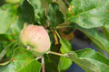 Apple among foliage on a branch after a rain close up Stock Photography