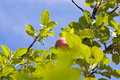 Apple fruit tree Stock Photo