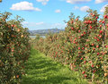 Apple garden full of riped red apples Royalty Free Stock Images