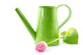 Apple green watering can and tulip fringed fancy frills Stock Photography