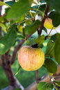 Apple Growing On Tree Royalty Free Stock Photo