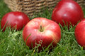 Apple harvest autumn variety malus domestica discovery Stock Images