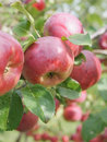 Apple harvest background Royalty Free Stock Images