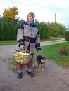 Apple harvest elderly country woman carries a basket of apples Stock Photo